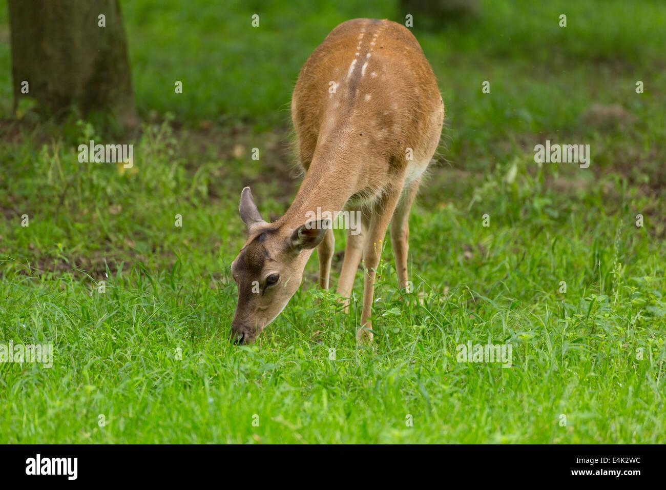 Gamo cuando pastan en prados verdes prados en Forrest en verano Foto de stock