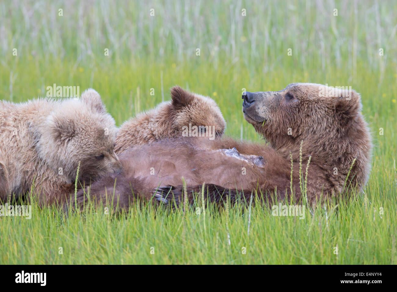 Grizzly Bear cubs el cochinillo en prado herboso Foto de stock