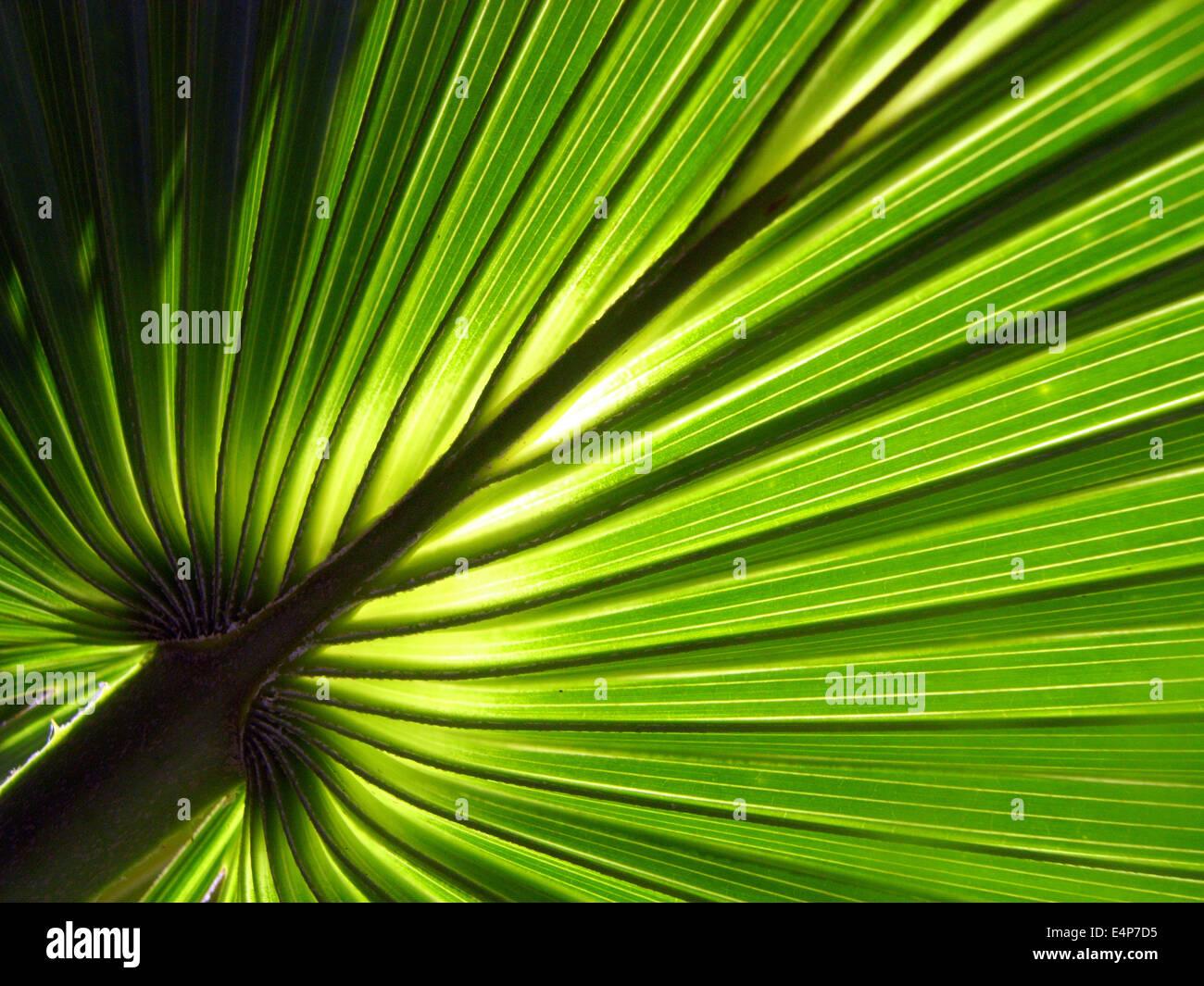 Detalle de la nueva fronda de repollo palm (Livistona sp.), el Parque Nacional Kakadu, el Territorio del Norte, Imagen De Stock