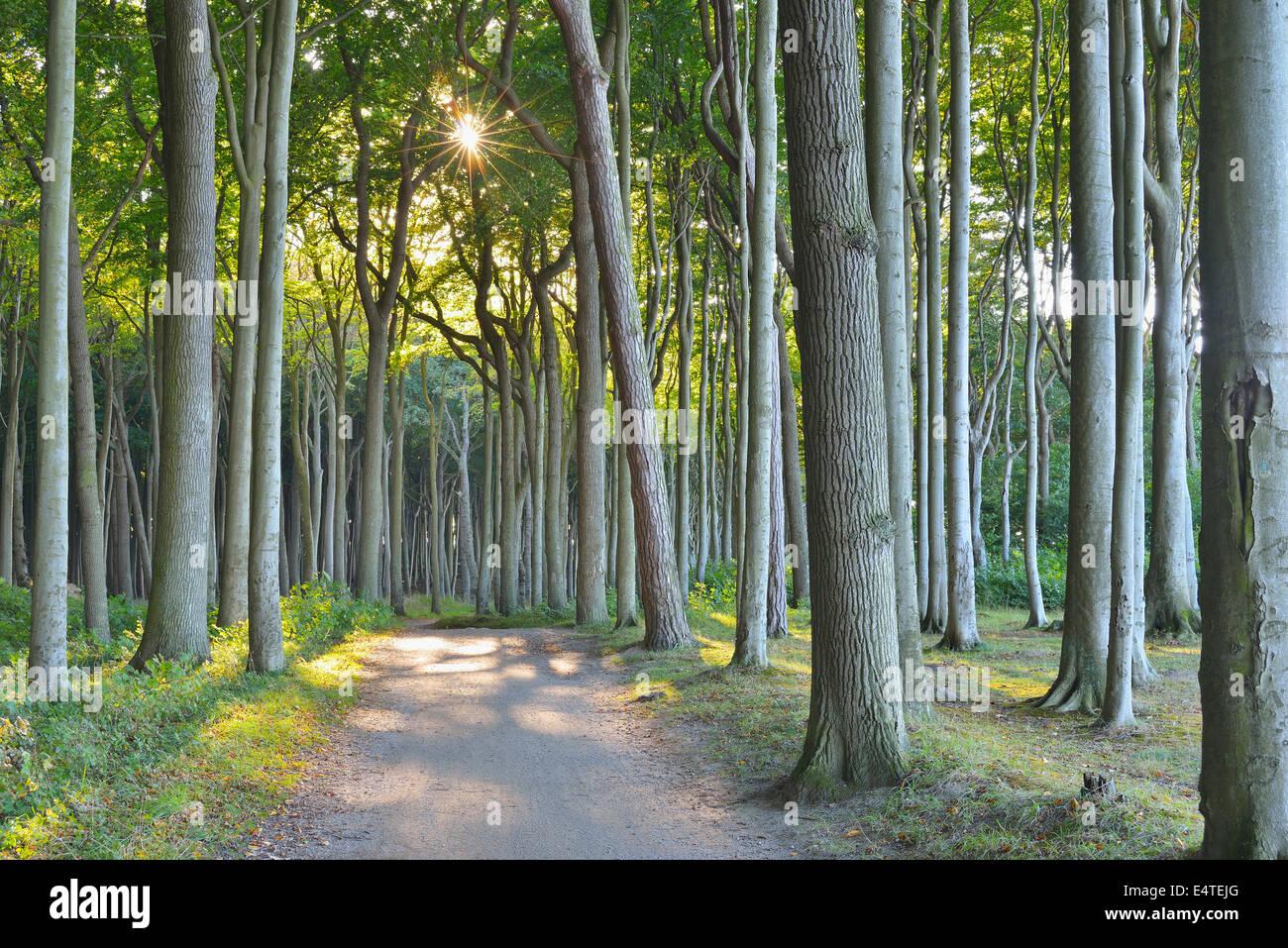 Bosque de hayas con la ruta costera, Nienhagen, Bad Doberan, Mar Báltico, Pomerania Occidental, Alemania Foto de stock