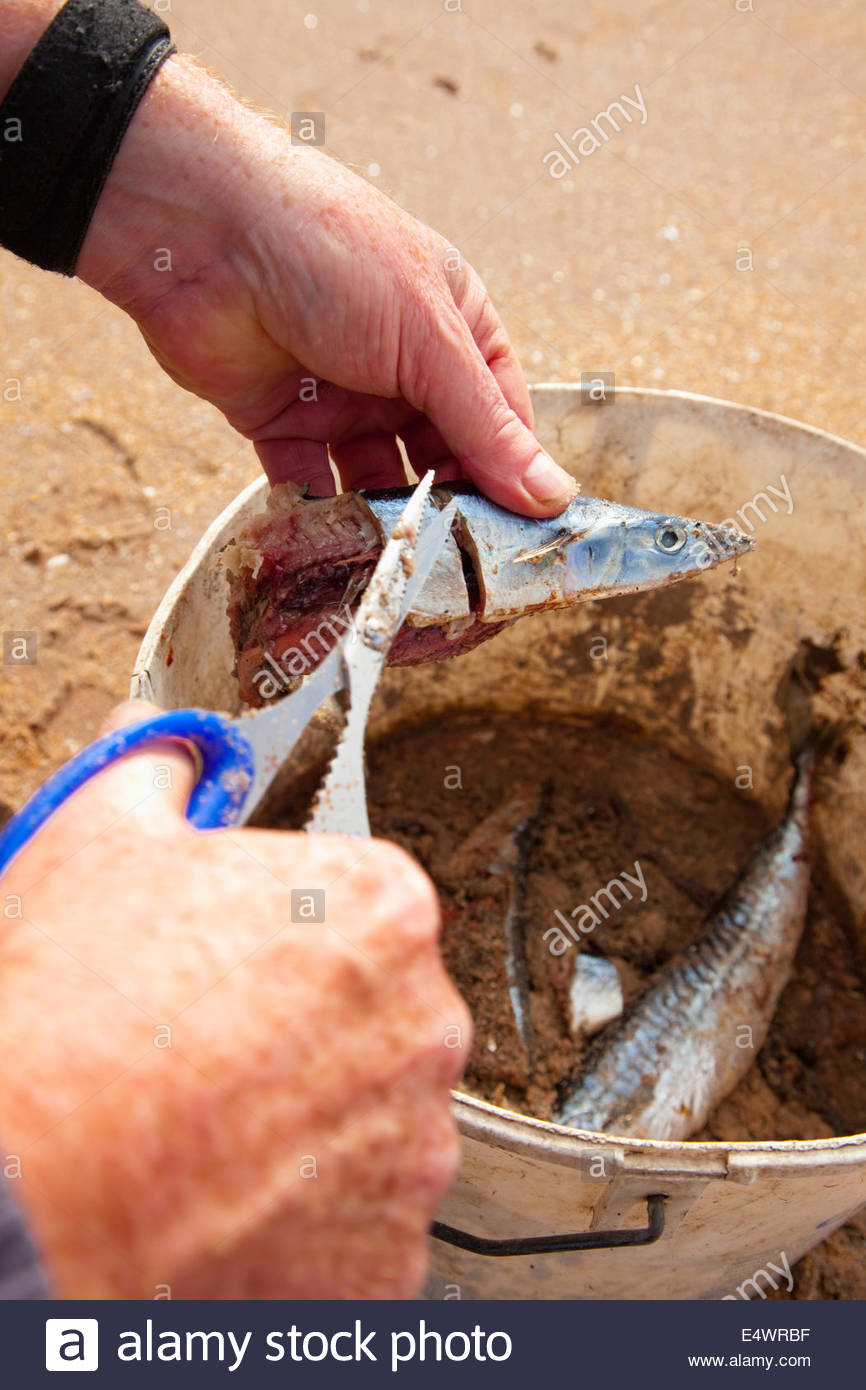 Procesamiento de la captura, mientras que la pesca con caña desde la playa de Seacliff, cerca de North Berwick, Imagen De Stock