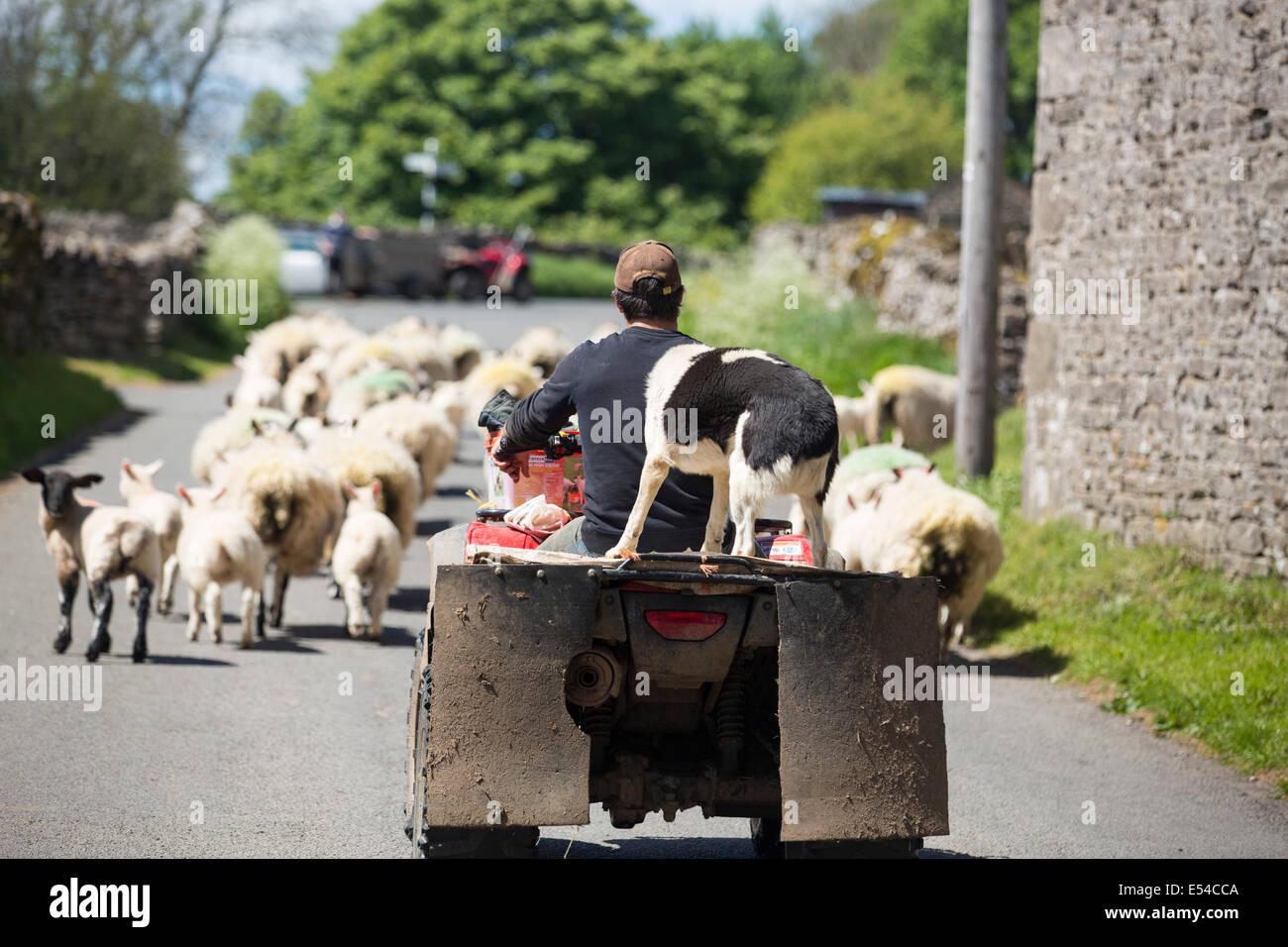 Un agricultor droving ovejas de un quad cerca Haweswater, Lake District, en el Reino Unido. Imagen De Stock