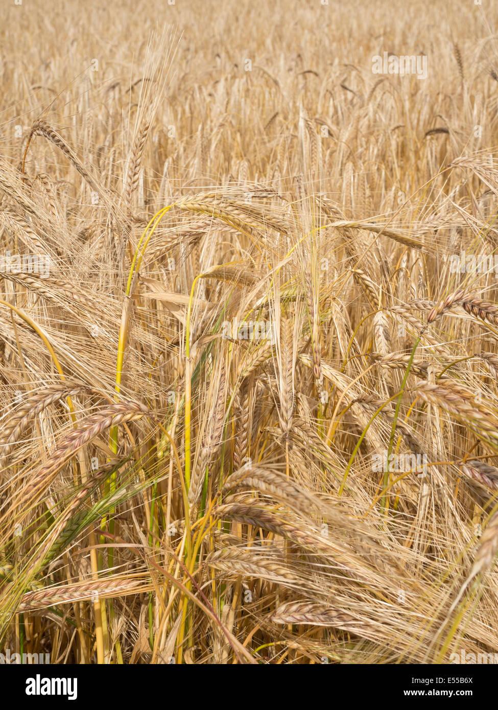 La cebada crece en un campo Imagen De Stock