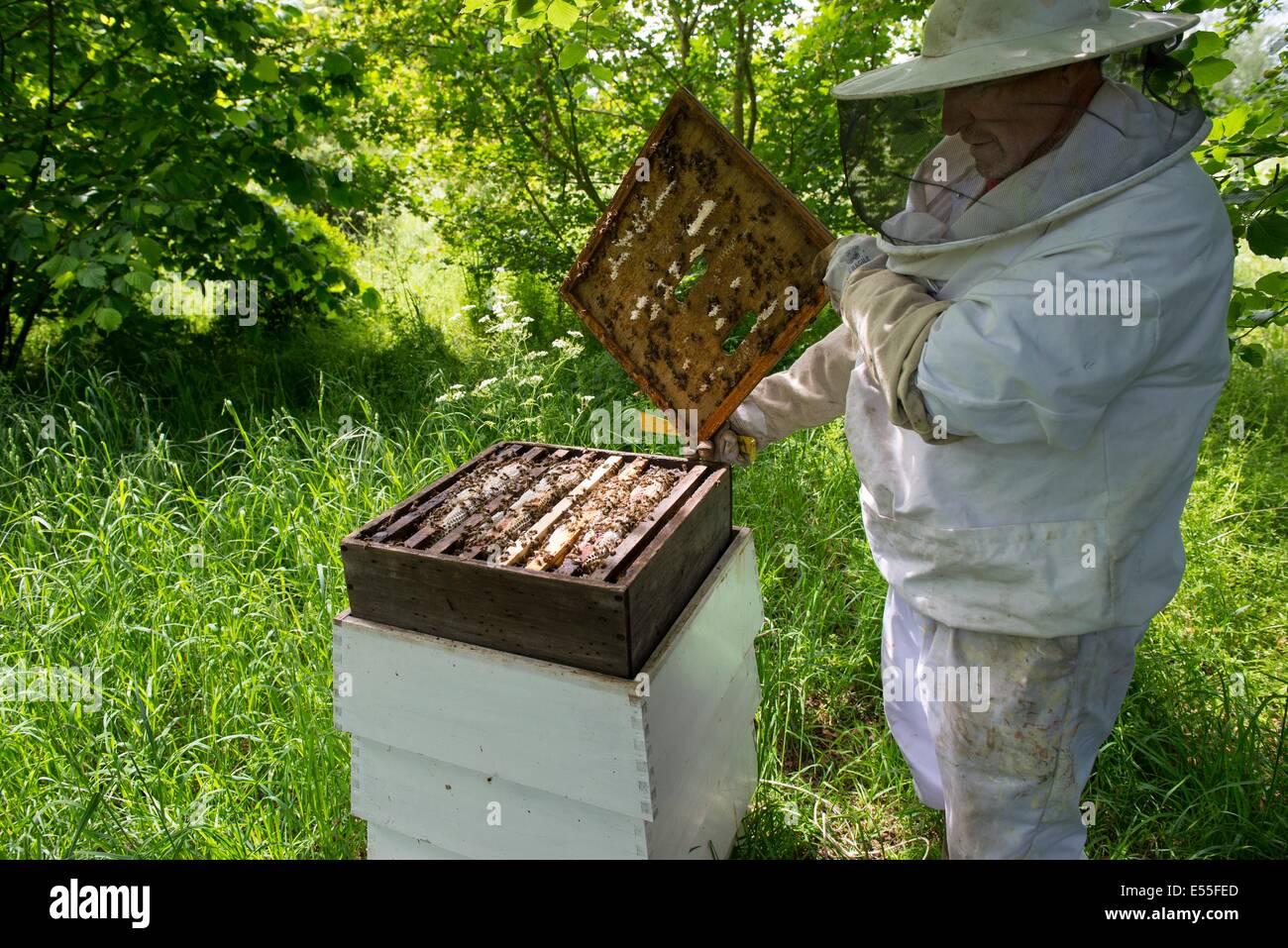 La apicultura, el apicultor inspeccionando los marcos de la colmena ...