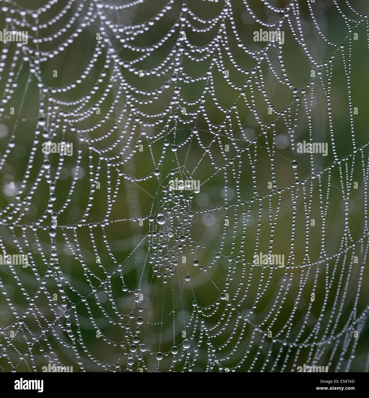 Tela de Araña con el rocío matinal. Imagen De Stock