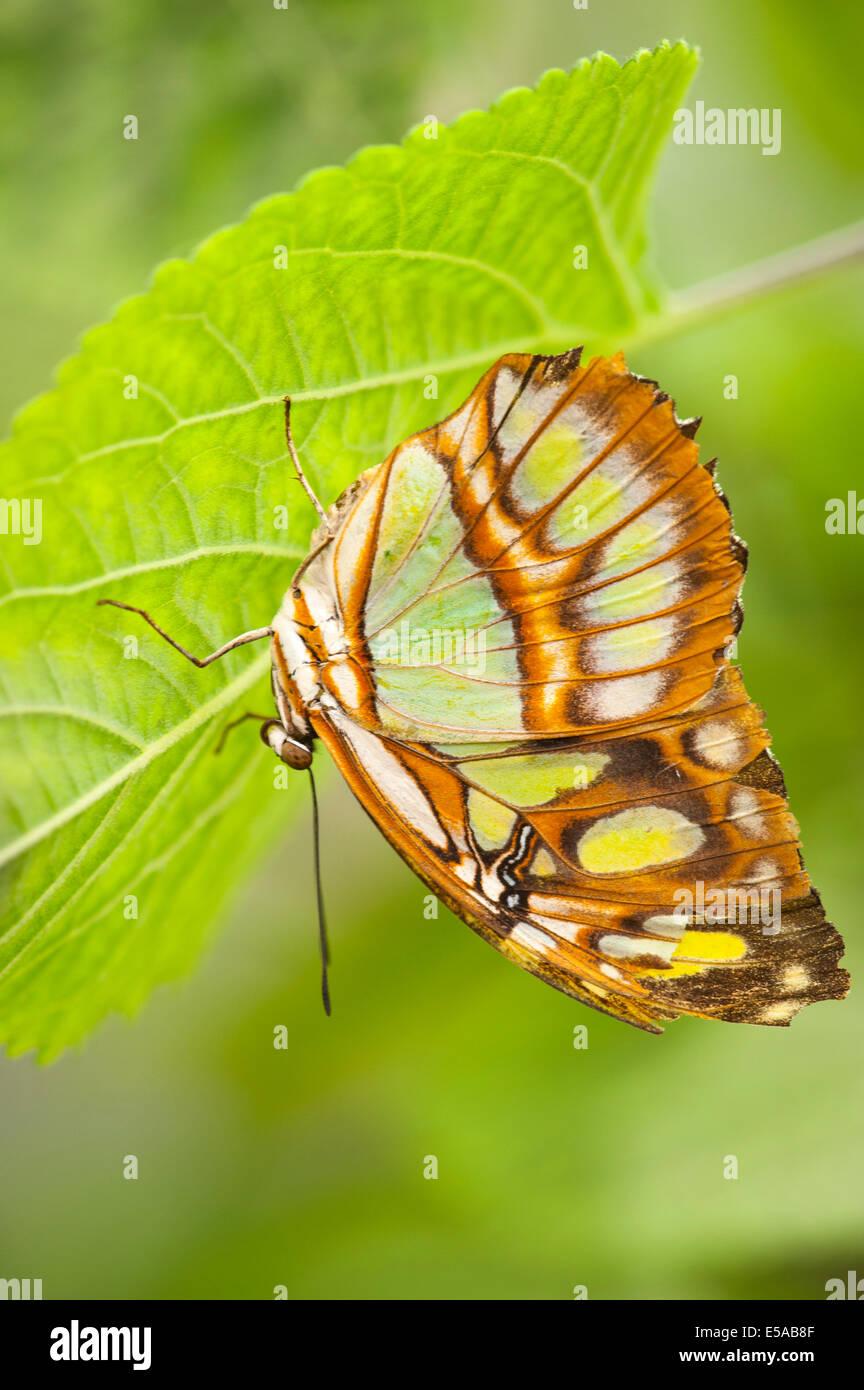 El noroeste de Londres, Golders Hill Park , Malaquita Siproeta Stelenes mariposas , nativo de América Central y del Sur , en la hoja peregrino Foto de stock