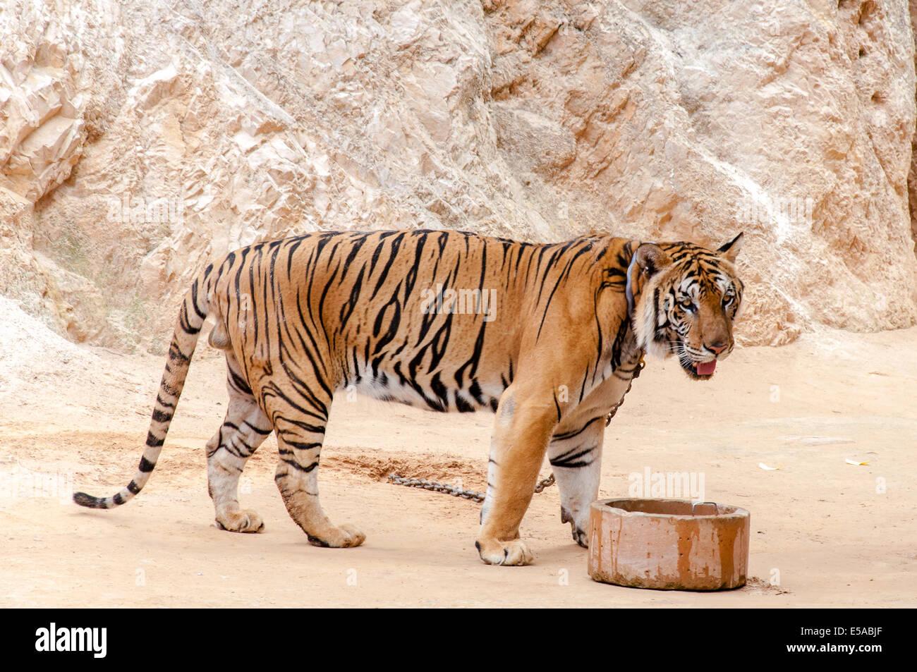 Hermoso ejemplar de tigre de bengala en el Templo del Tigre en Kanchanaburi, Tailandia Imagen De Stock