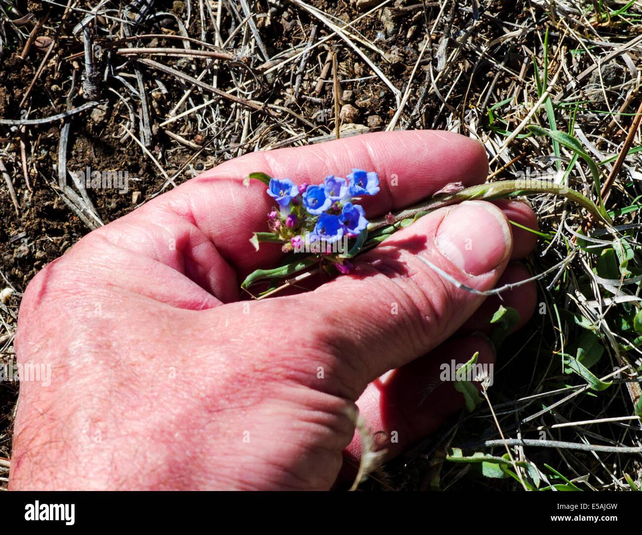 Mano sujetando Mertensia lanceolata, Faldas Mertensia, Boraginaceae, la Borraja flores silvestres en flor, en el Imagen De Stock