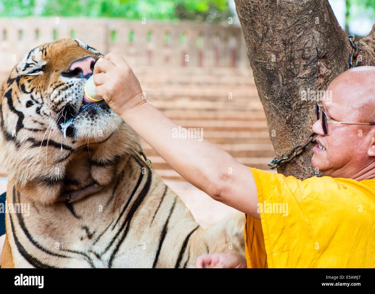Monje budista la alimentación con leche de un tigre de bengala en el Templo del Tigre, el 23 de mayo de 2014 Imagen De Stock