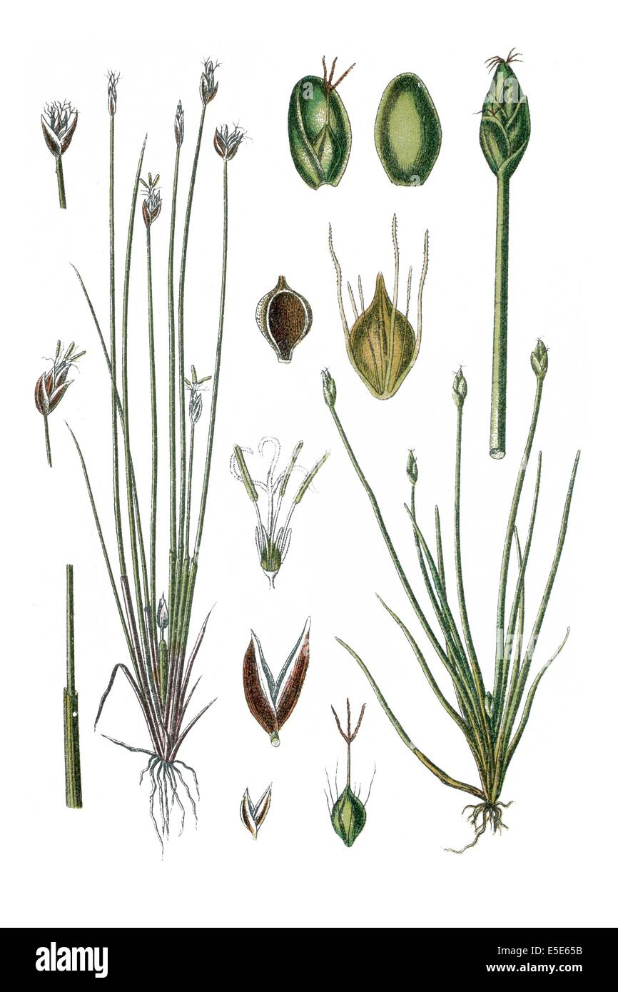 Izquierda: Flatsedge difusa, Cyperus pauciflorus, derecha: Enano, Cyperus parvulus Spikerush Imagen De Stock