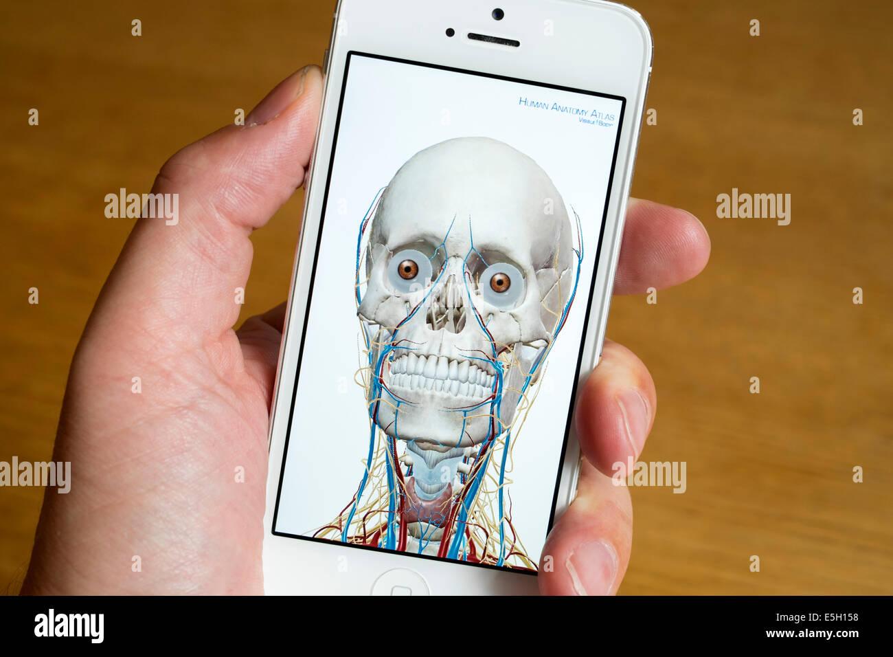 Utilizando medical app para el estudio de la anatomía humana en un iPhone teléfonos inteligentes. Imagen De Stock