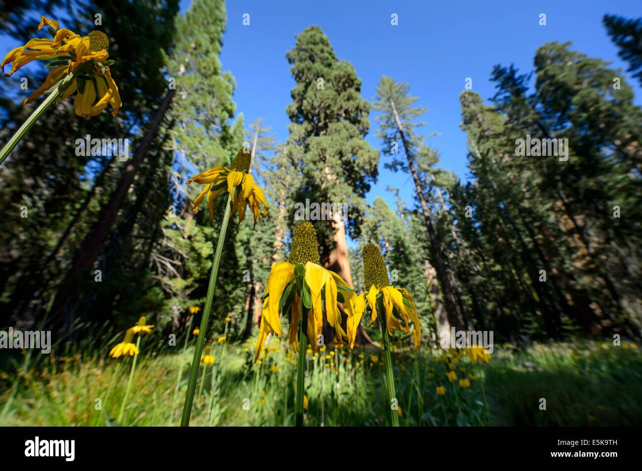 Flores en el cono Mariposa Grove de Secoyas Gigantes, El Parque Nacional Yosemite Foto de stock