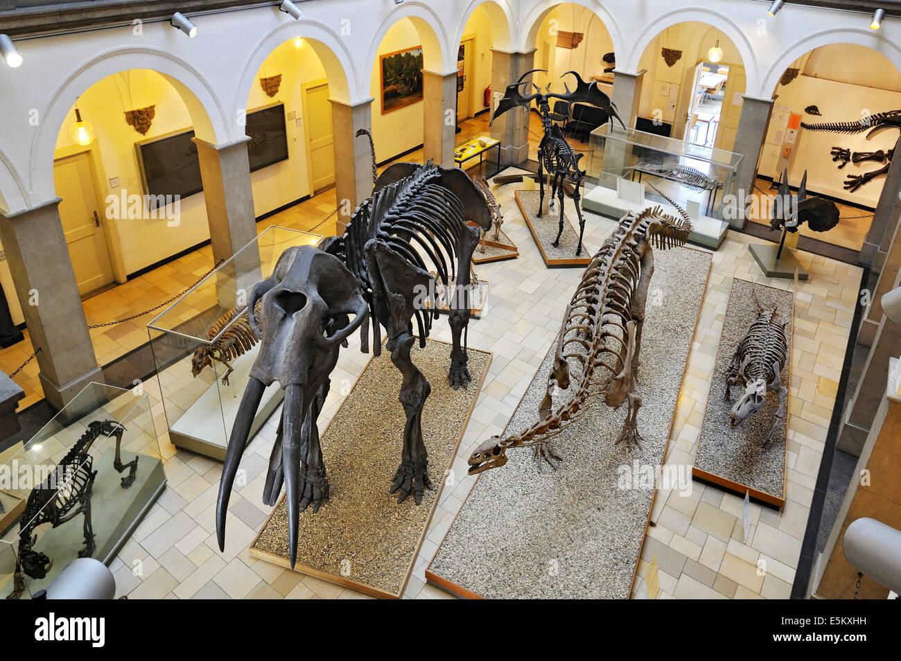 (Gomphotherium Urelefant Mühldorfer), esqueleto, museo Paleontológico, Munich, Baviera, Alemania Imagen De Stock