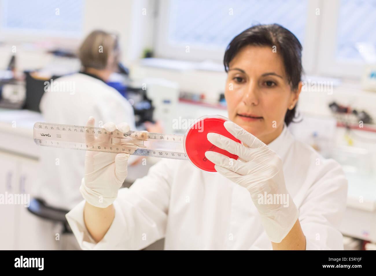 Técnico femenino un cultivo bacteriano de medición en una placa de Petri en un laboratorio médico. Foto de stock