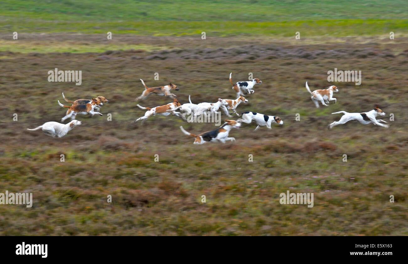 Los perros en la búsqueda común de equitación Lauder, Berwickshire Imagen De Stock