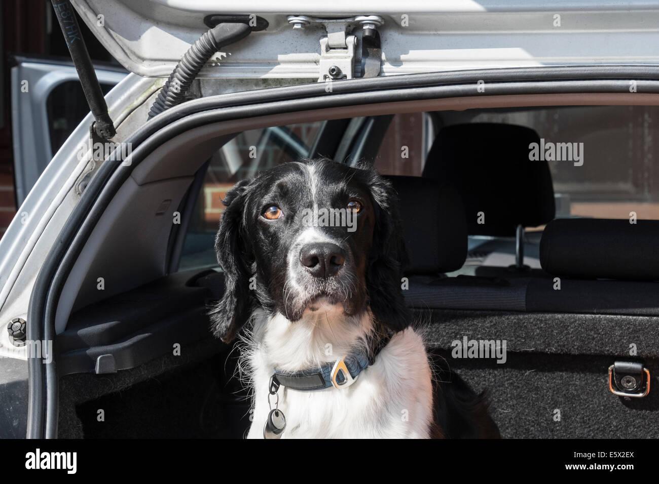 Un adulto English Springer Spaniel perro sentado esperando para ir en un viaje en el maletero del coche una berlina Imagen De Stock