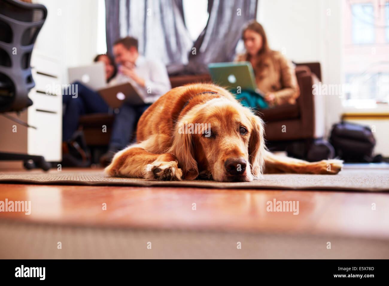 Retrato de aburrido perro acostado sobre una alfombra, personas con portátiles en segundo plano. Imagen De Stock