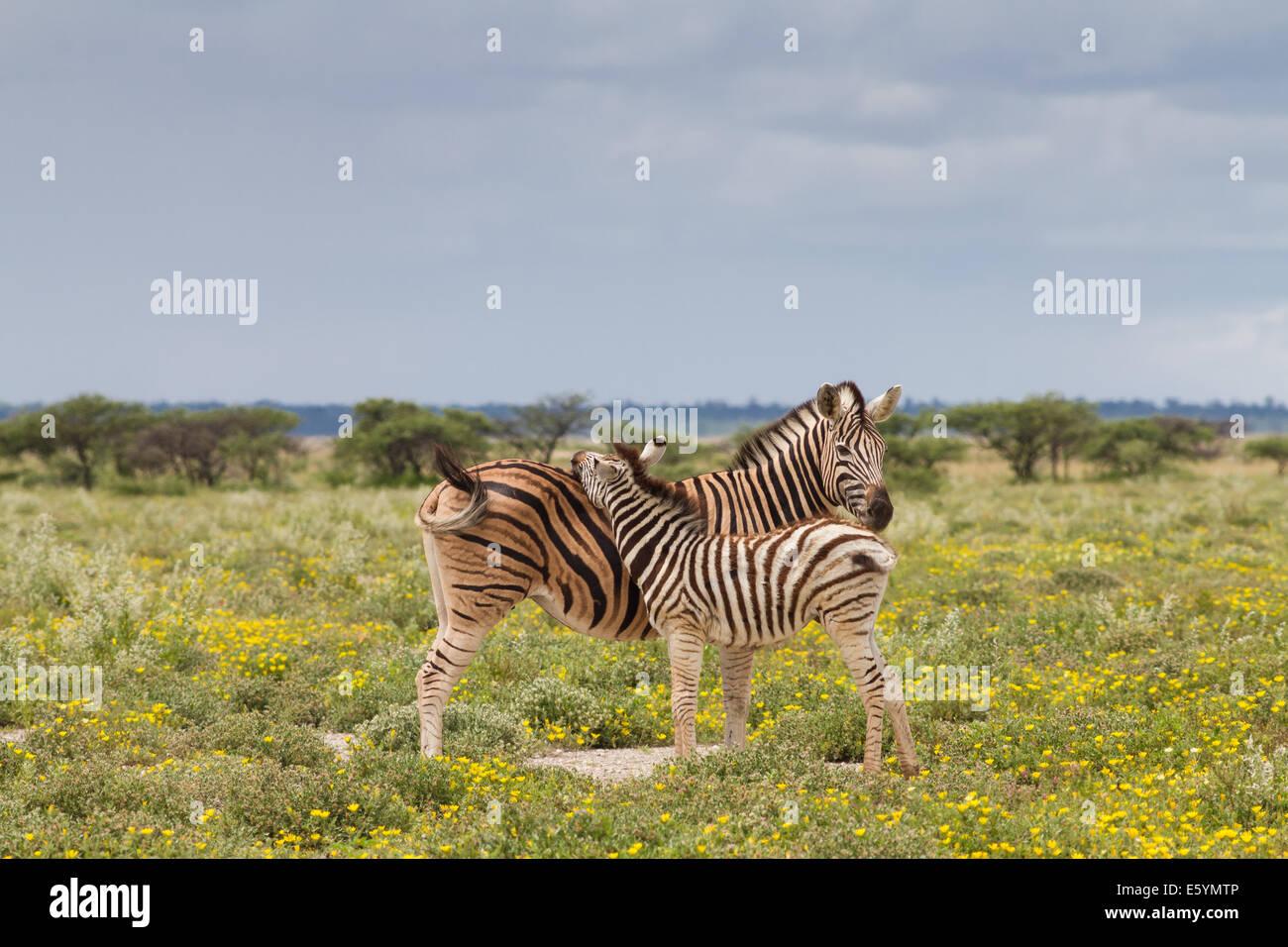 Cebra joven y a su madre, el Parque Nacional de Etosha, Namibia Imagen De Stock