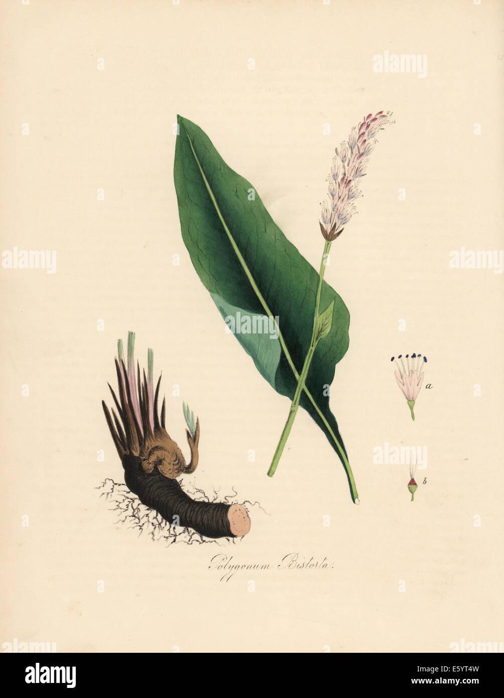 Gran o snakeweed bistort Polygonum bistorta,, flores, hojas y raíz ...