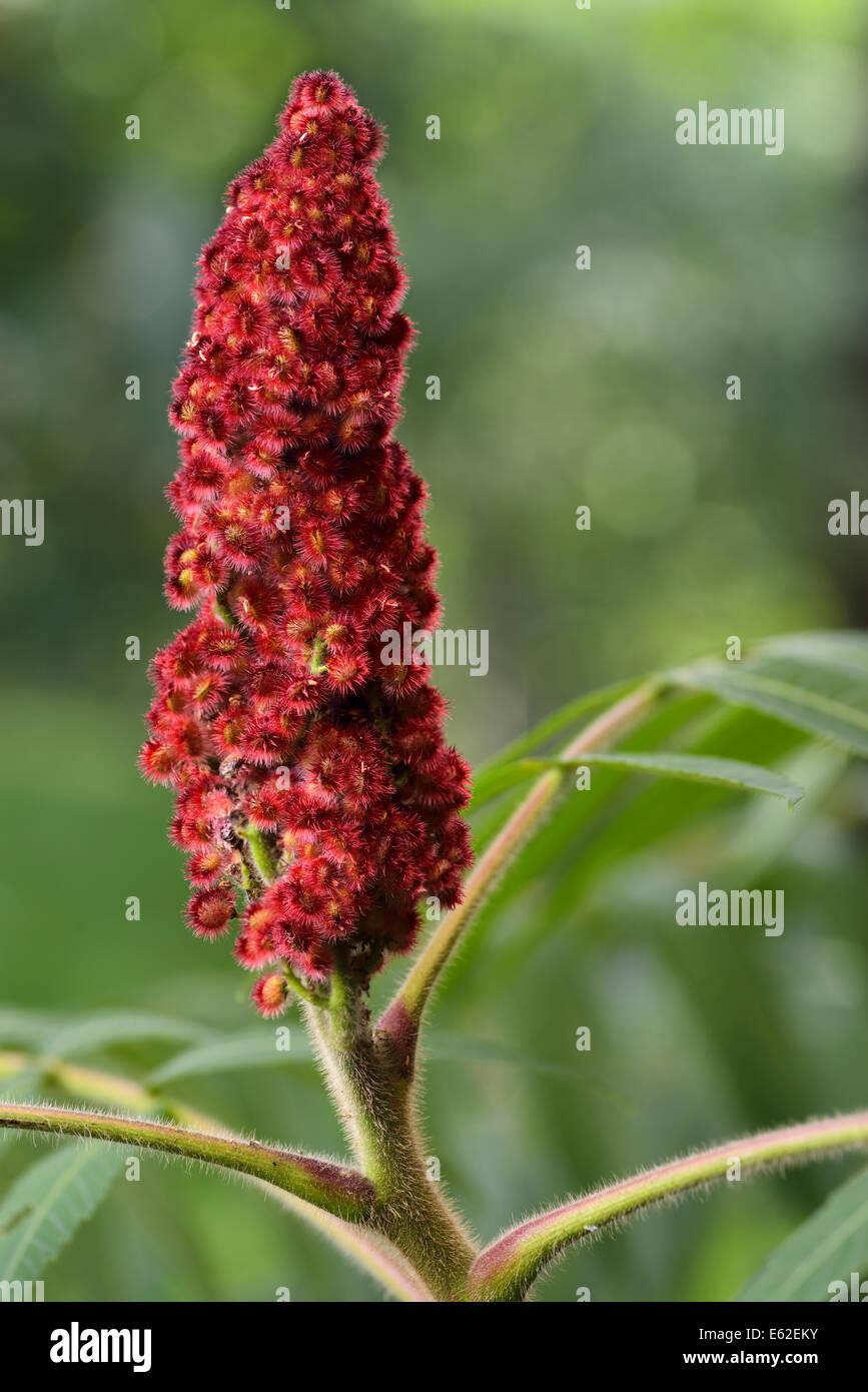 Cerca de drupa roja frutas y difusa de un tallo zumaque staghorn afuera Imagen De Stock