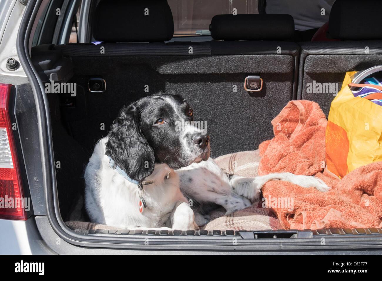 Un blanco y negro Adult English Springer Spaniel perro esperando pacientemente en el maletero del coche una berlina Imagen De Stock