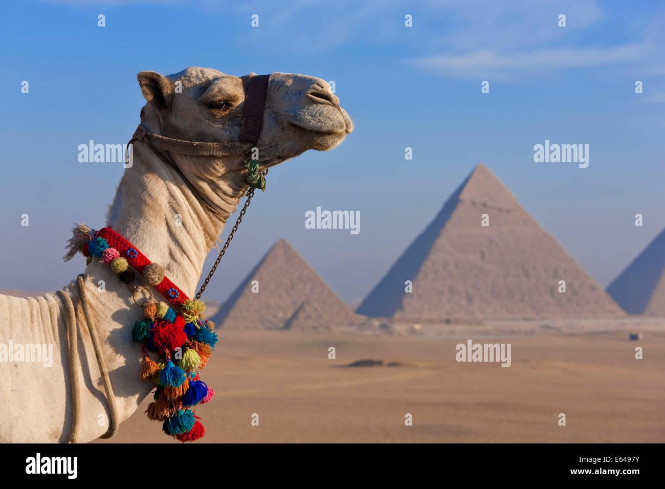 Los camellos y las pirámides en Giza, Egipto Imagen De Stock