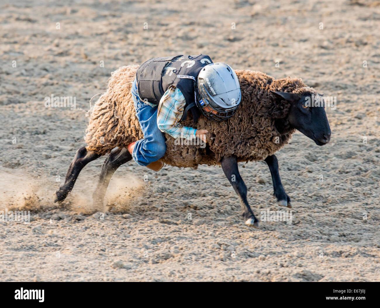 Niño montando una oveja en el carnero busting la competencia, evento Chaffee County Fair & Rodeo Imagen De Stock