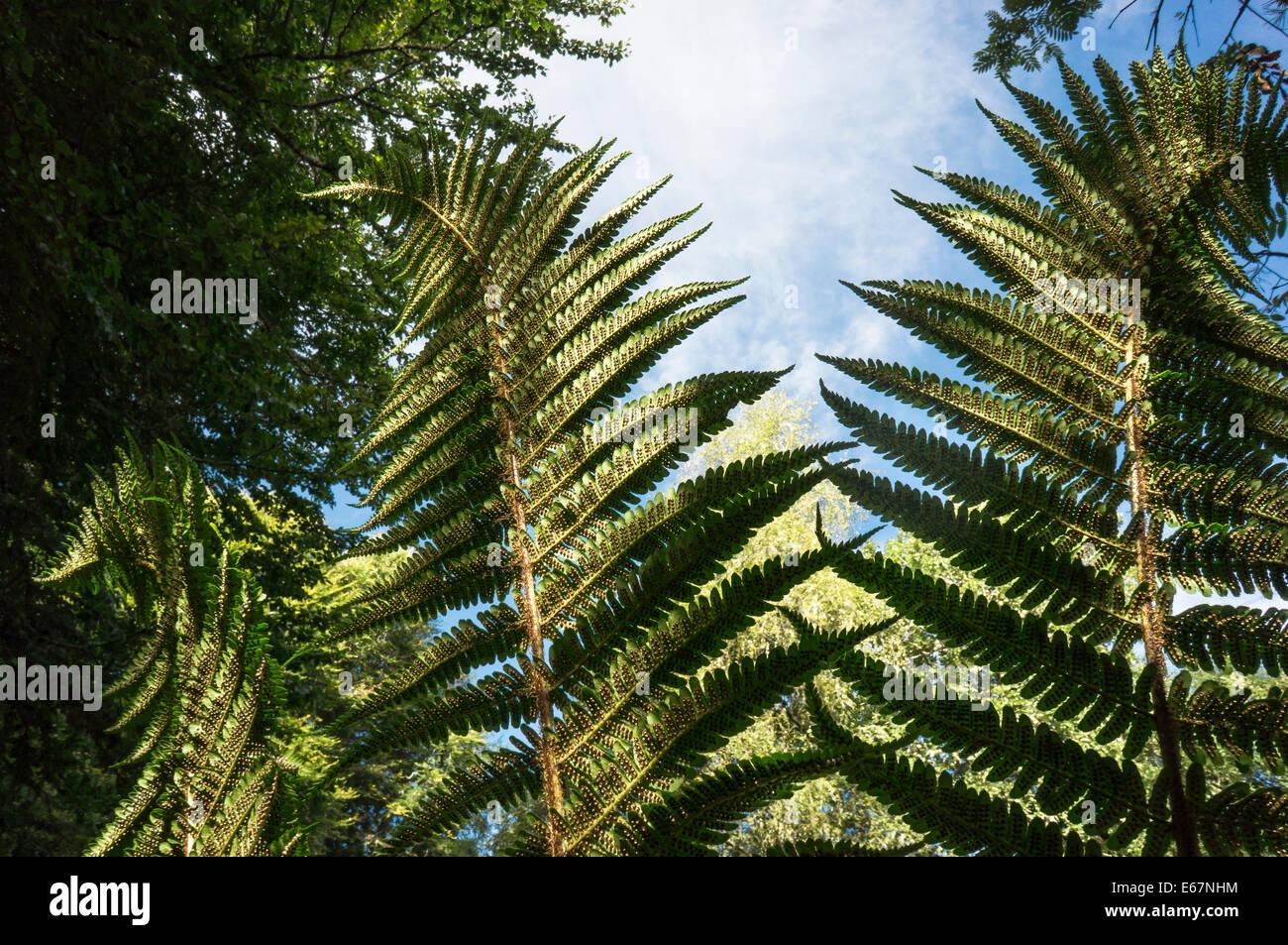 Helecho escamoso ( Dryopteris affinis) Imagen De Stock