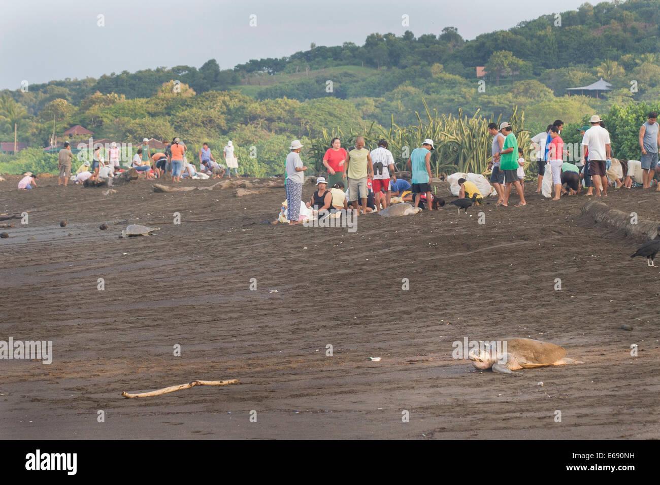 Tortugas olive ridley sube hasta la playa para poner sus huevos. En el fondo son los recolectores de huevos de tortuga Imagen De Stock