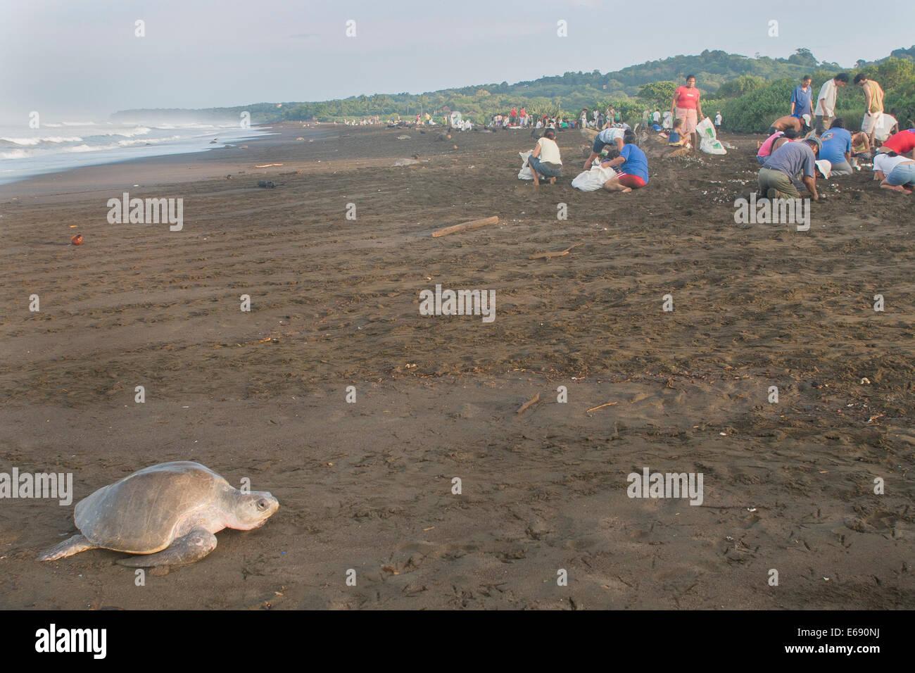Una tortuga marina golfina que sube hasta la playa para poner sus huevos. En el fondo son los recolectores de huevos Imagen De Stock