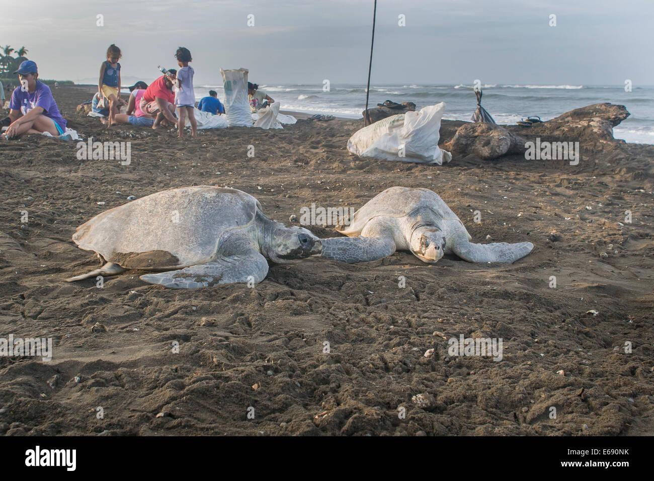 Golfina las tortugas marinas ponen sus huevos en la arena. En el fondo son los recolectores de huevos de tortuga Imagen De Stock