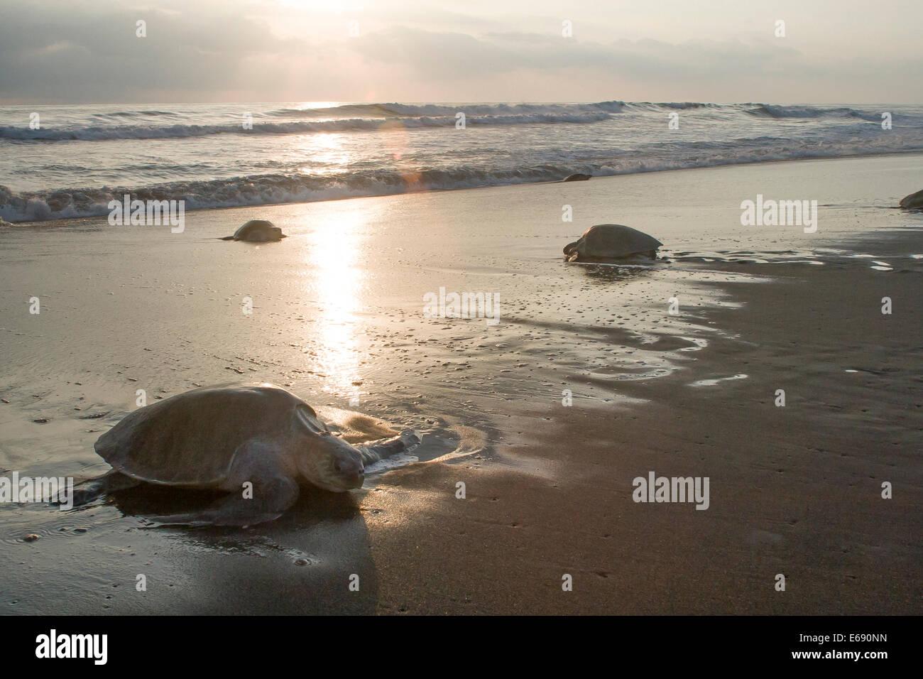 Tortugas olive ridley subir a la playa para poner sus huevos. La anidación de tortugas marinas en masa de eventos Imagen De Stock