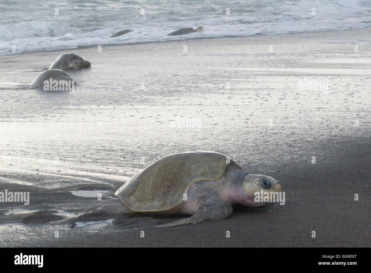 Grupo de mujeres tortugas olive ridley, Lepidochelys olivacea, subir a la tierra para poner sus huevos; fotografiado Imagen De Stock