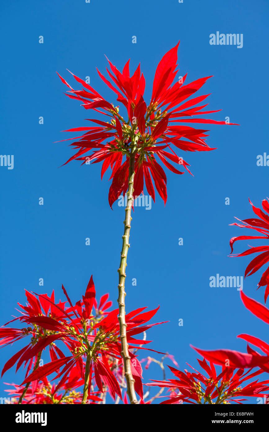 Vibrante y colorida Euphorbia pulcherrima planta. Imagen De Stock