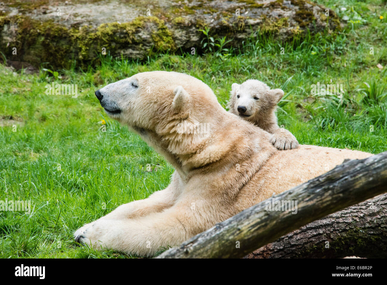Los osos polares (Ursus maritimus), hembra con jóvenes, zoológico Hellabrunn, en Munich, Baviera, Alemania Foto de stock