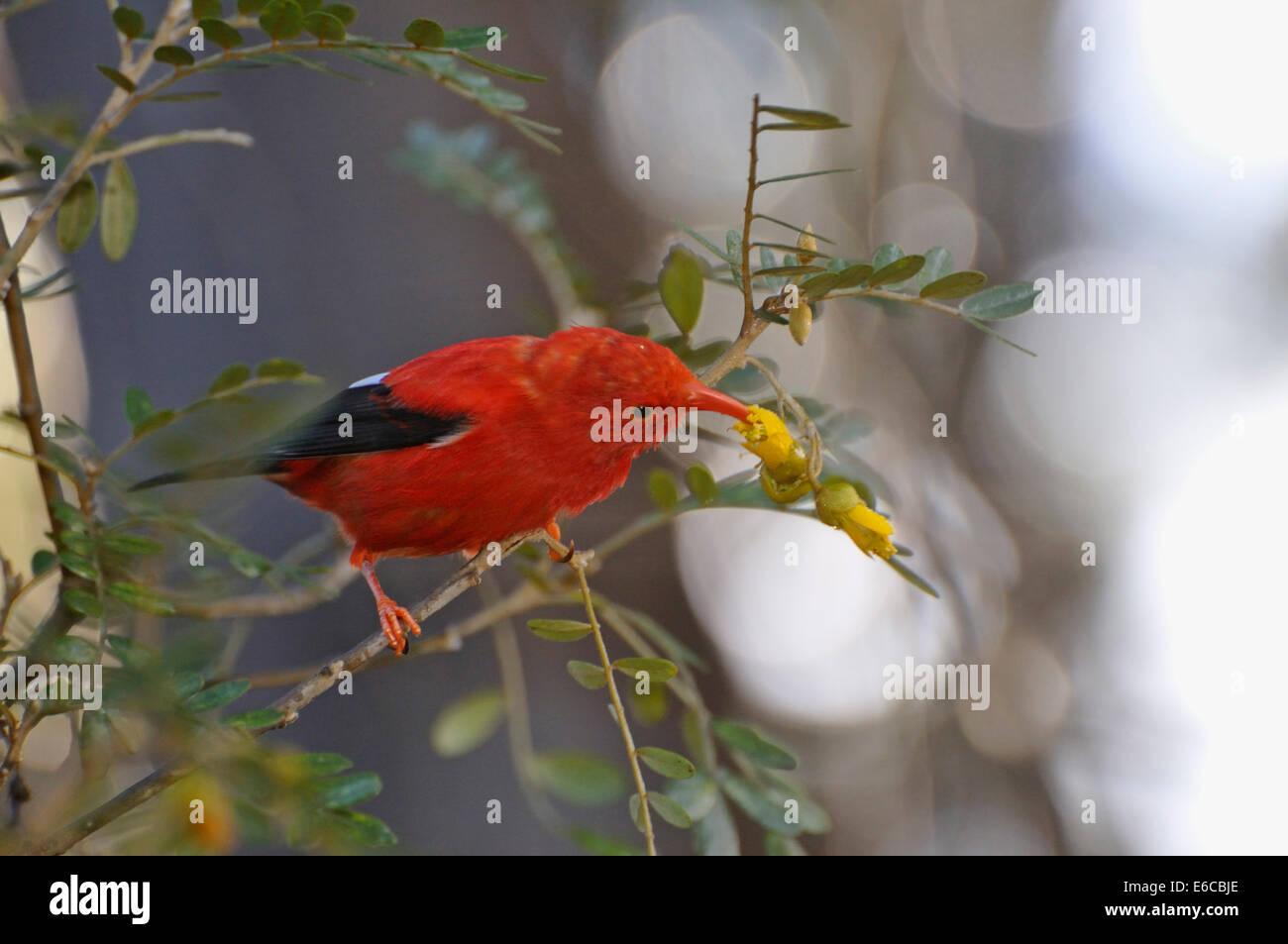 """Un """"I'iwi bird extrayendo el néctar de las flores del árbol de color amarillo en la isla de Maui, las Islas de Hawaii, EE.UU.. Foto de stock"""