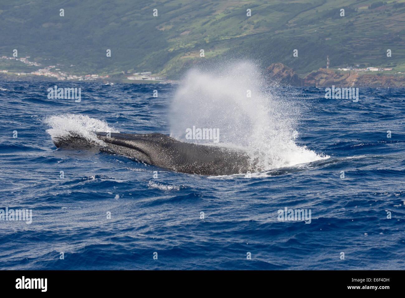 Ballena de Aleta, Balaenoptera physalus, surgiendo a gran velocidad en olas grandes, cerca del Pico, Azores, Océano Atlántico. Foto de stock