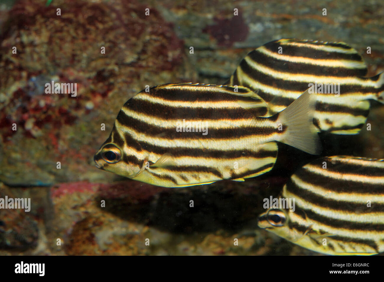 Stripey Microcanthus strigatus (pescado) en Japón Imagen De Stock
