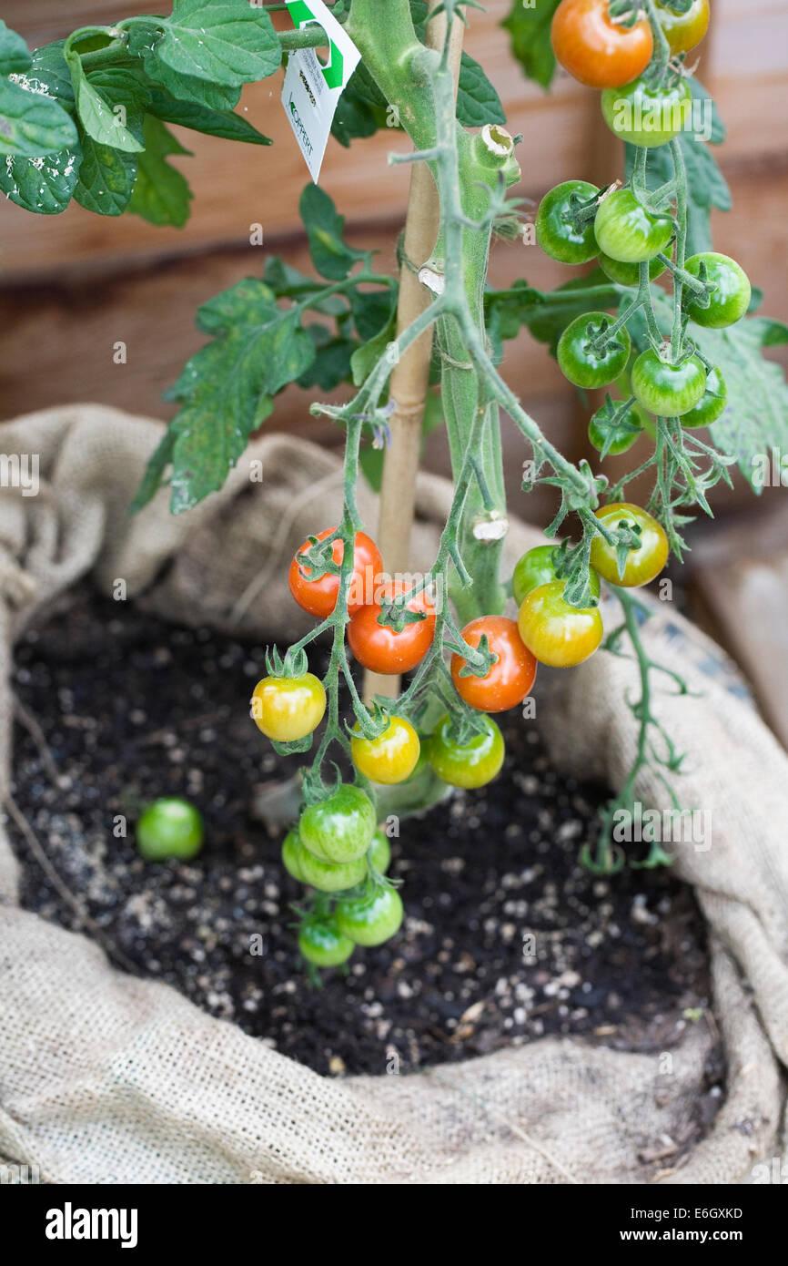 Planta TomTato en RHS Harlow Carr. Planta injertada que produce tomates y patatas. Imagen De Stock