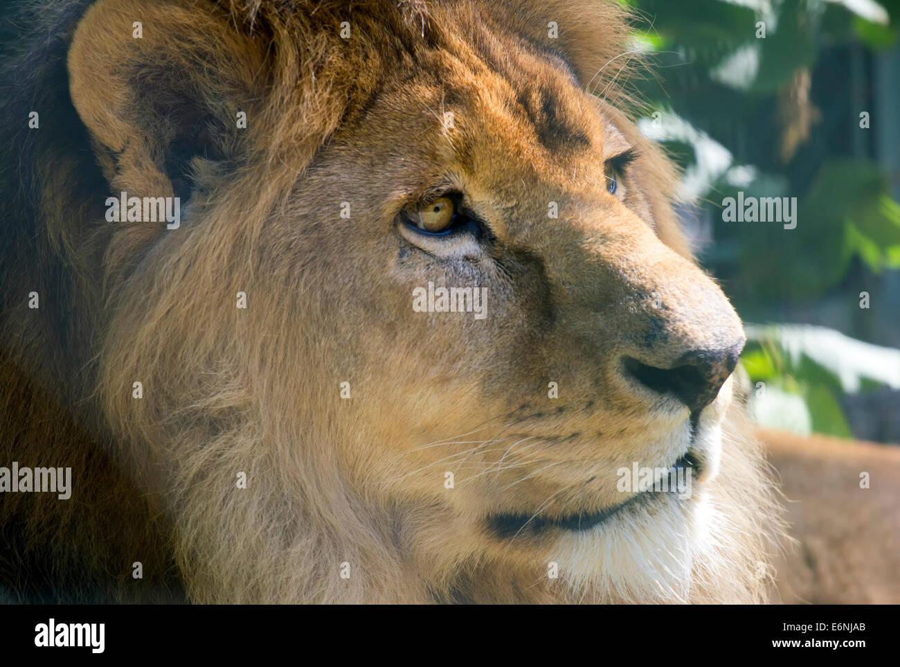 Primer plano de la hermosa León. Foto de stock