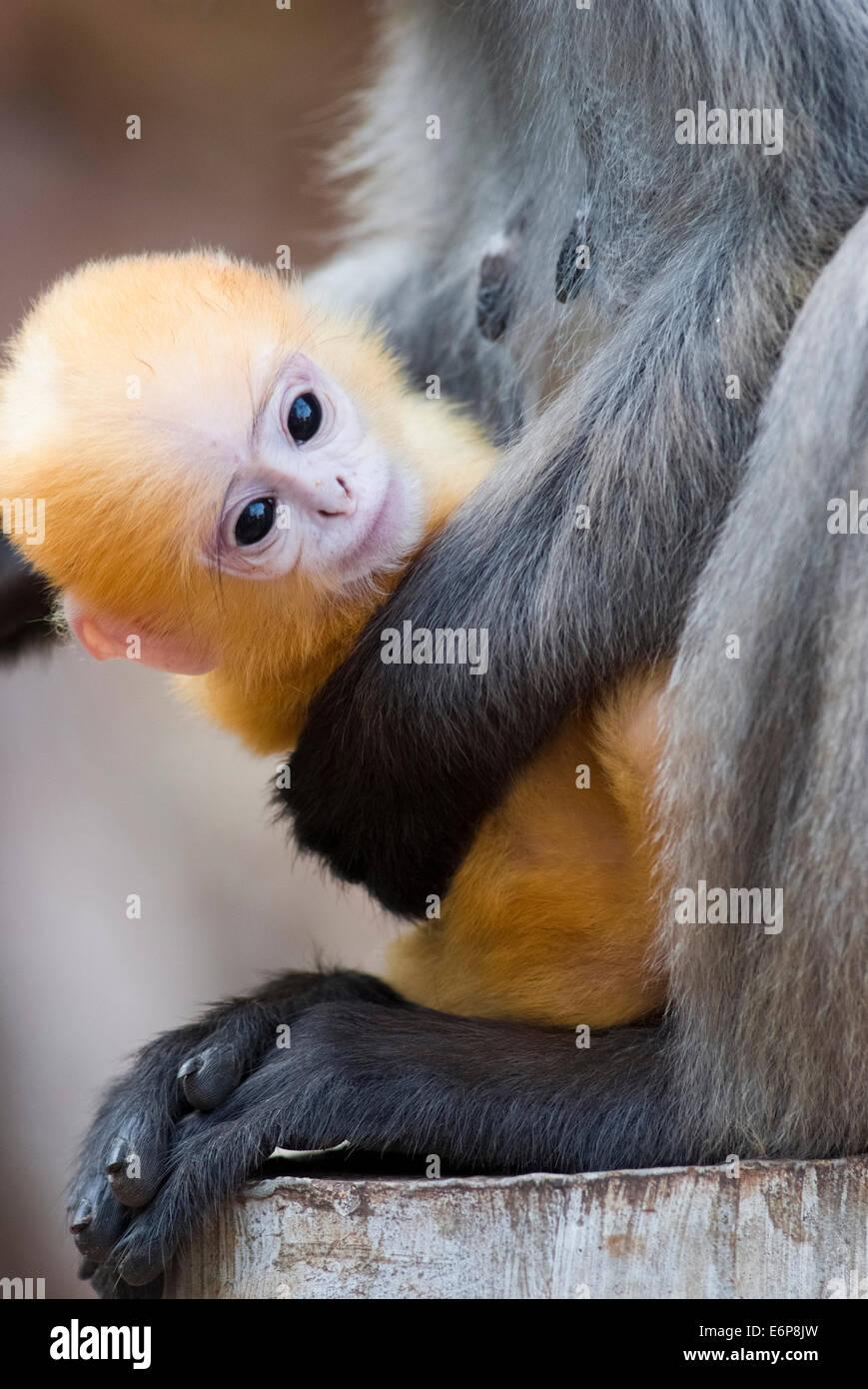 Una madre de hojas negruzcas mono y su bebé amarillo Imagen De Stock