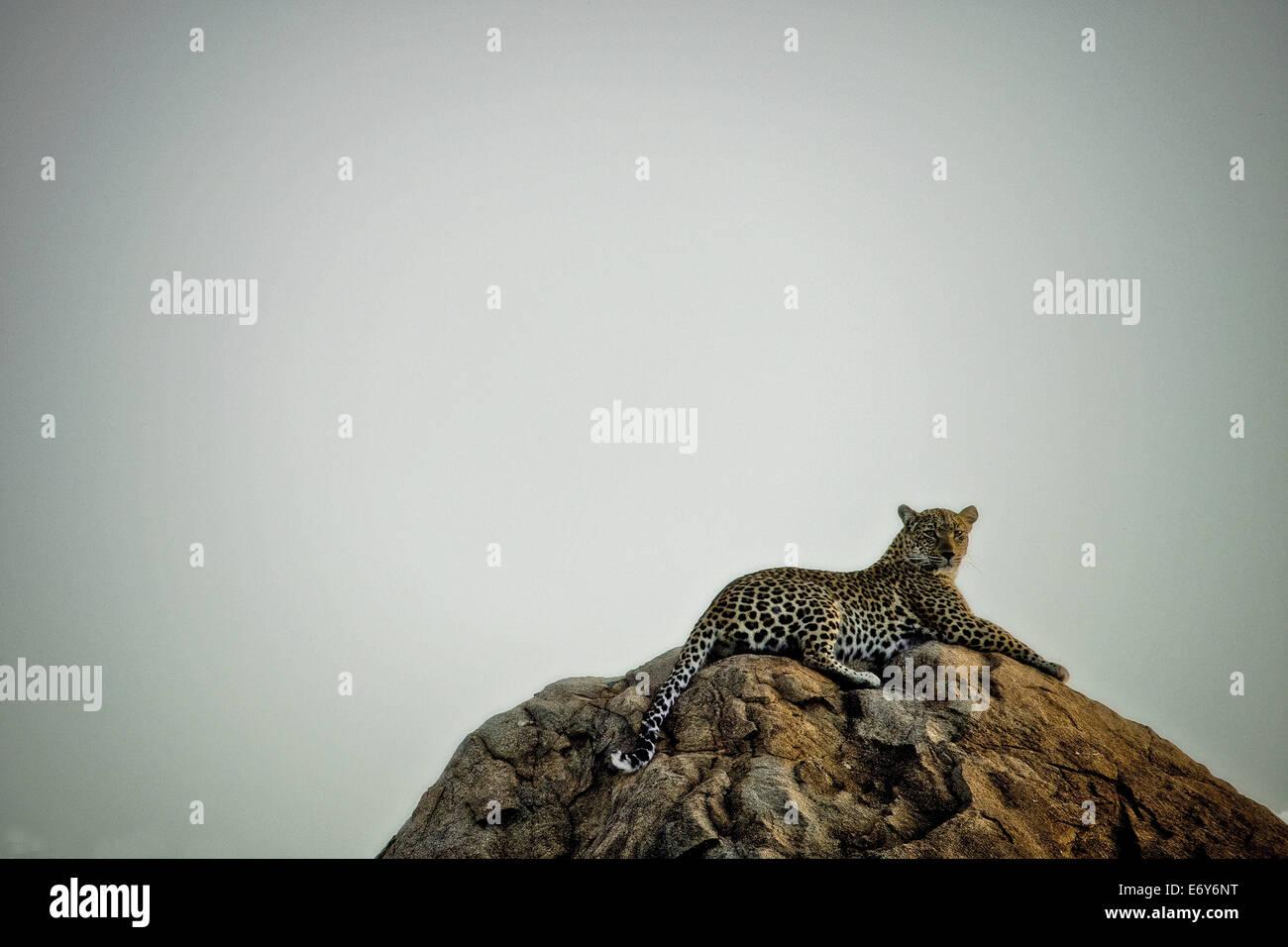 Leopardo descansa sobre una roca, Sabi Sands Game Reserve, Sudáfrica, África Foto de stock