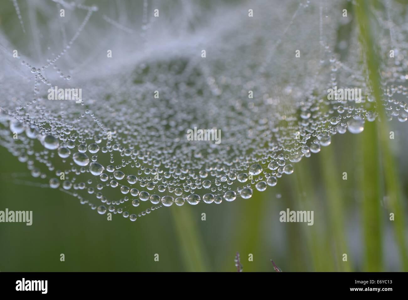 Web Spiders cubierto de rocío. Reserva Natural Nacional Dunsdon Devon Wildlife Trust sitio Engalnd North Devon. Imagen De Stock