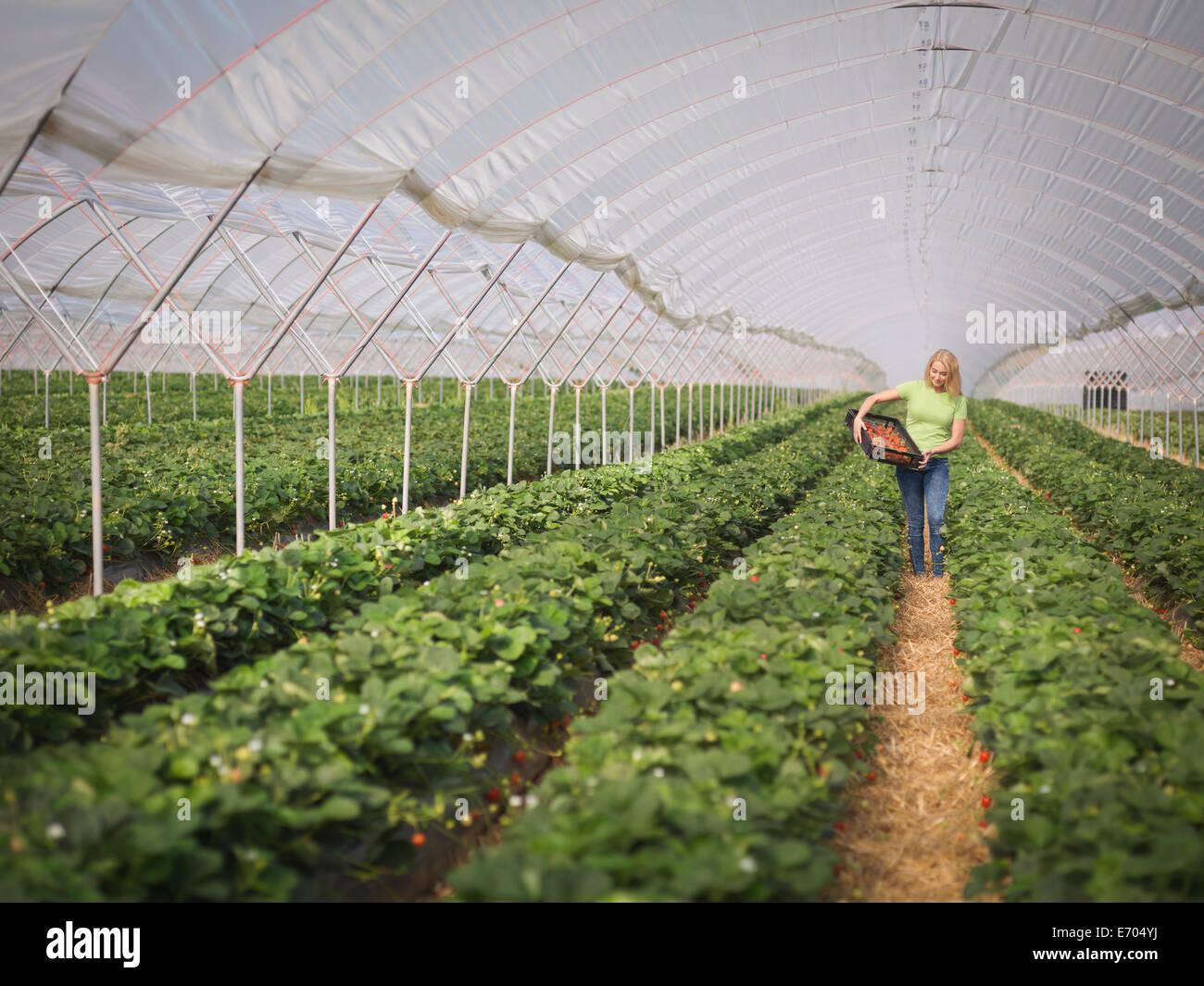 Recogiendo fresas en polytunnel trabajador de granja de frutas Imagen De Stock