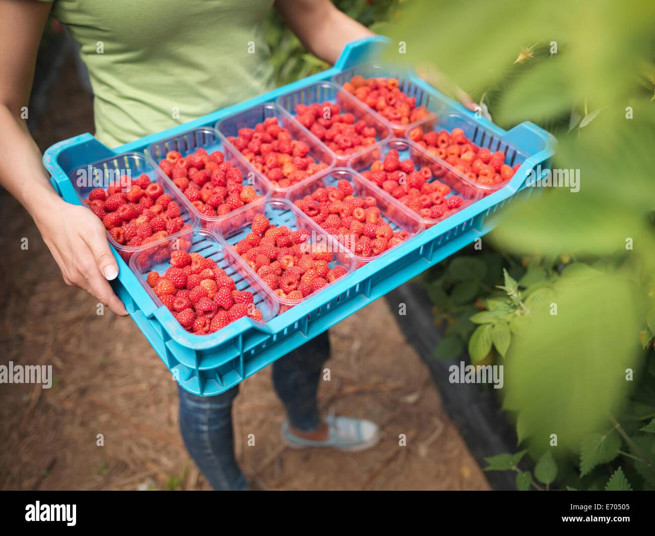Bandeja de explotación del trabajador recién cosechadas frambuesas en punnets en granja de frutas Foto de stock