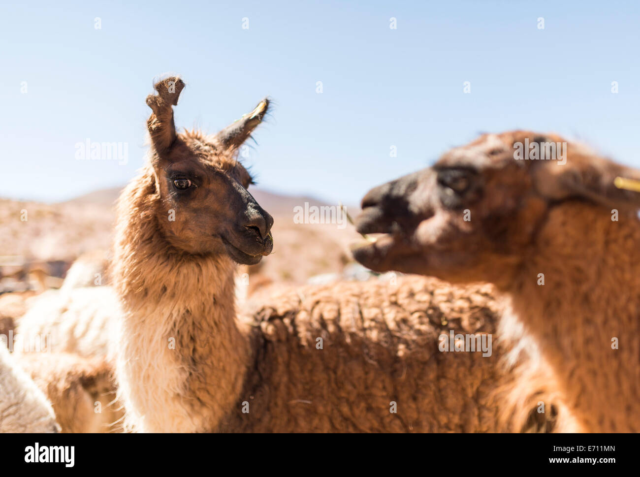 Las llamas, el desierto de Atacama, el Norte Grande de Chile Imagen De Stock