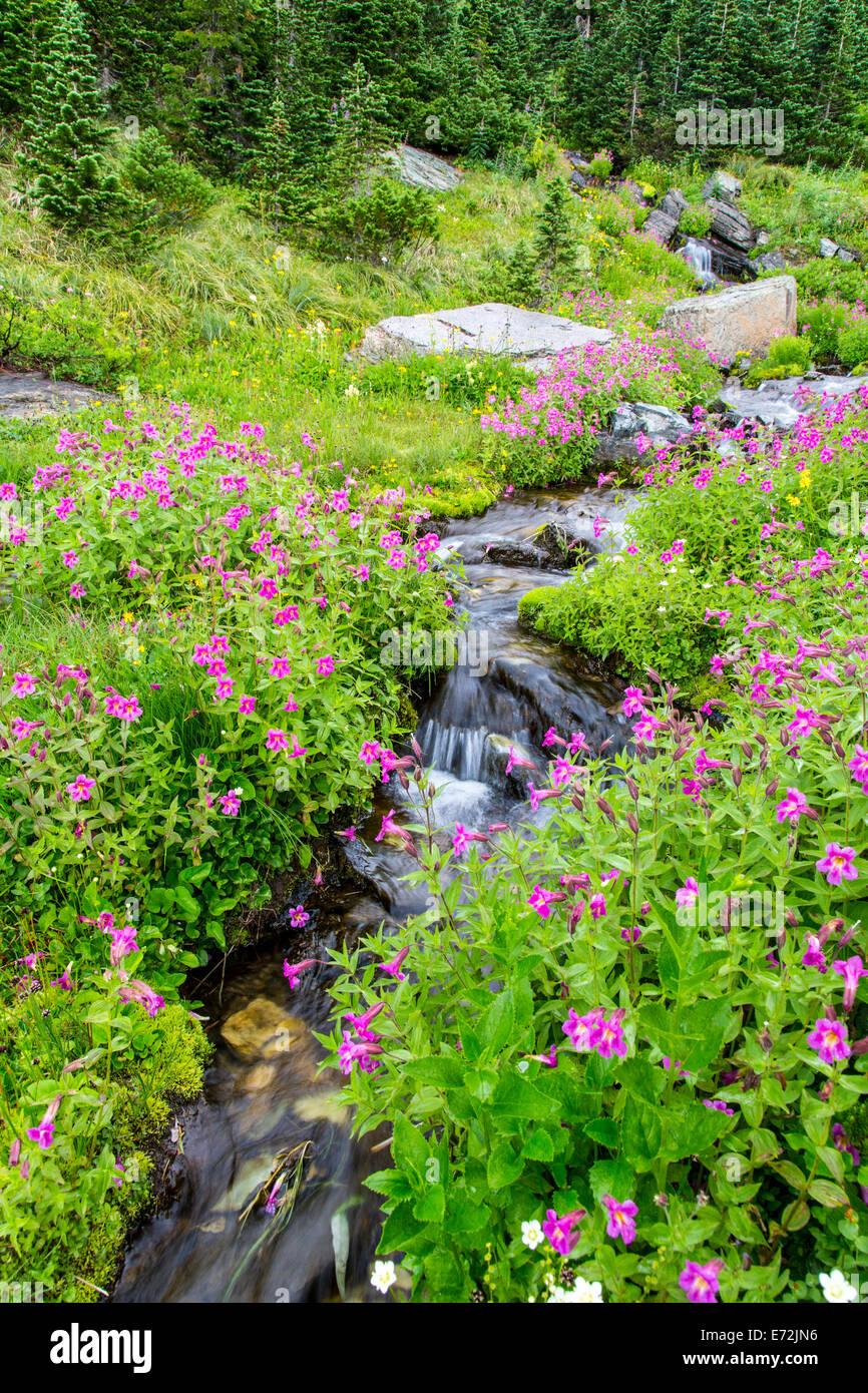 A lo largo de Monkeyflowers Almuerzo Creek, en el parque nacional de Glacier, Montana, EE.UU. Imagen De Stock