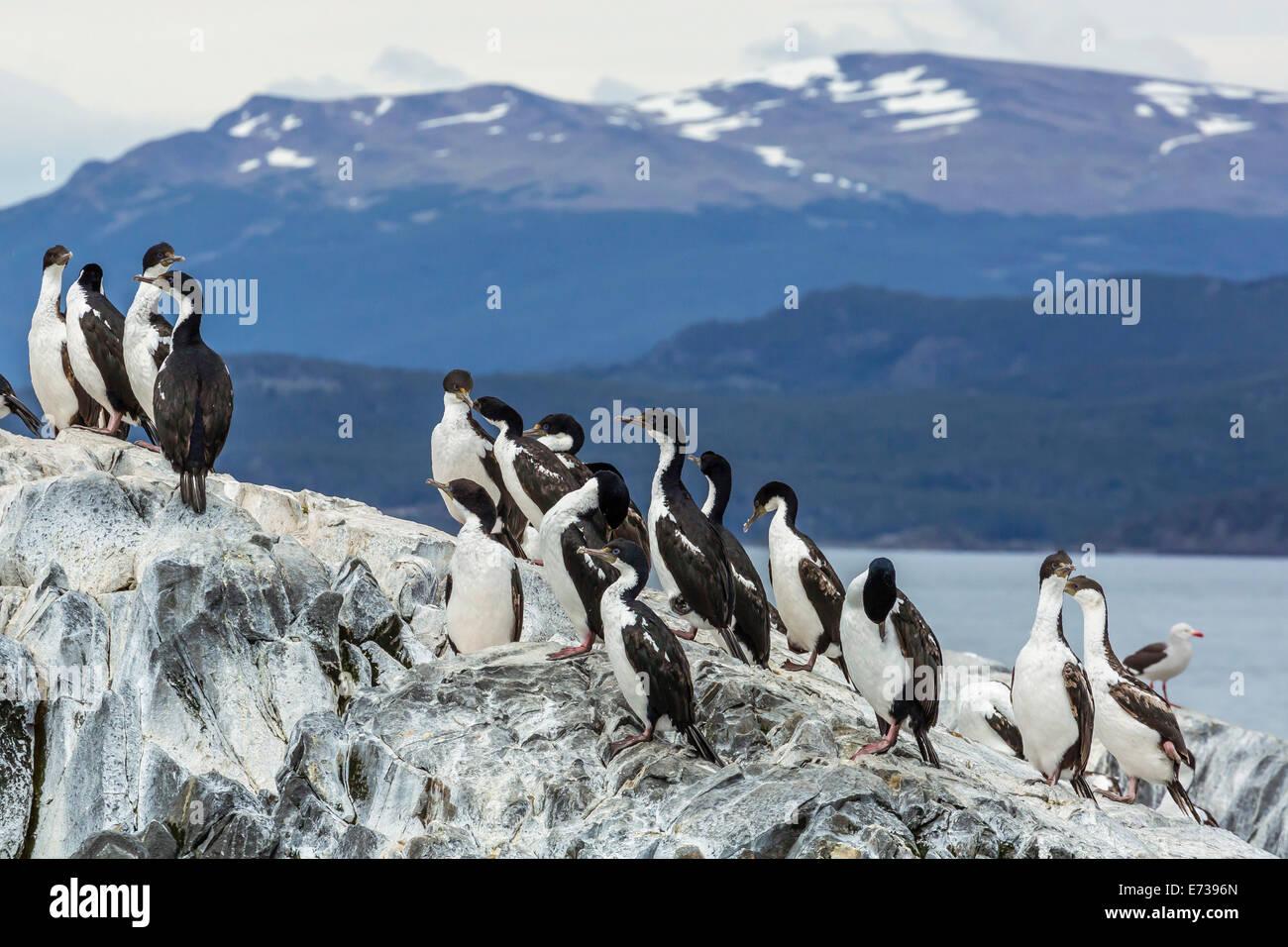 Adultos cormoranes imperiales (Phalacrocorax atriceps) en la colonia de cría de pequeños islotes, justo Imagen De Stock