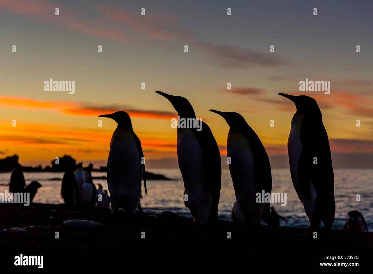 Pingüino Rey siluetas al amanecer en colonia reproductora en Gold Harbor, South Georgia, Protectorado de Ultramar Imagen De Stock
