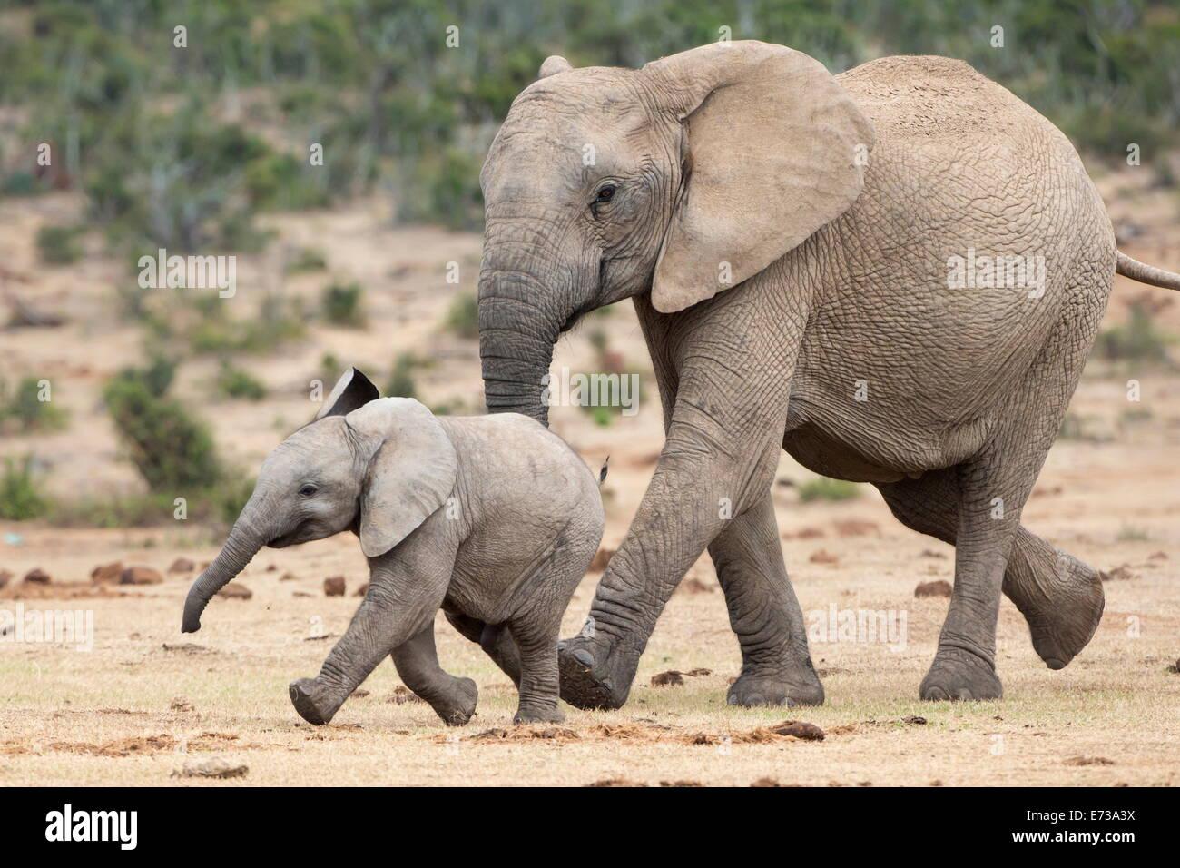 Elefante africano (Loxodonta africana) y de la pantorrilla, corriendo con el agua, el Parque Nacional de Elefantes Addo, Sudáfrica, África Foto de stock